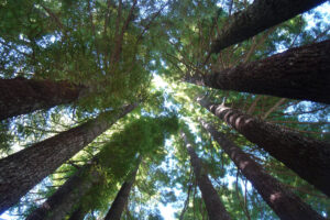 July 30, 2006, California redwood forest